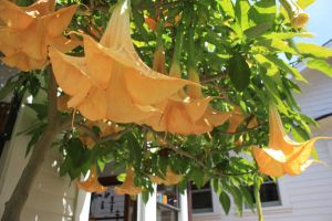 Trumpet Vine by shftwings