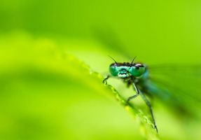 Variable Damselfly II by JoniNiemela