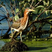 August Green Heron 2016 1 by natureguy