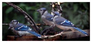 Young Jays by richardcgreen