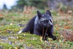 Young Black Fox in the Wild 6 by Witch-Dr-Tim