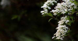 Bridal Wreath 7 by Photolover68