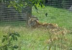 Tiger In Grasses by LucieWalton