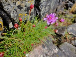 Thrift near Arisaig 1 by RoseSparrow