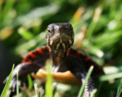 Painted Turtle by Xercesa