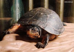 Spotted Turtle 1 2010 by seto2112