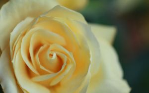 Yellow Rose-2 by rsaravanan