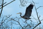 Great Blue Heron by LarryGorlin