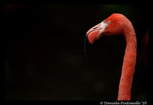 Flamingo by TVD-Photography