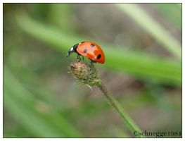 ladybug 2 by schnegge1984
