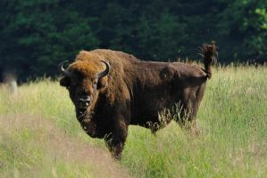 A bison. European bison. by Rajmund67
