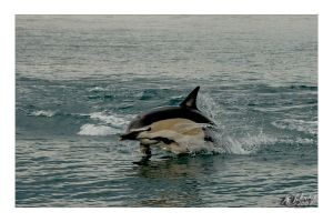 Dolphins III by anjules