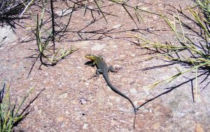 Lizard in the mountains 1 by blogdrakeart