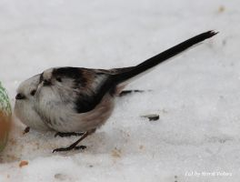 Schwanzmeise / Long Tailed Tit 2 by bluesgrass