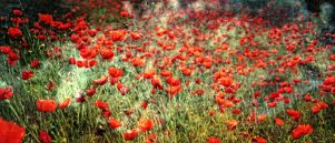 poppies by grbush