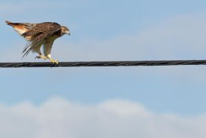 Hawk High Wire Act 8 by bovey-photo