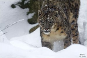 2010-50 Snow Leopard at work by W0LLE