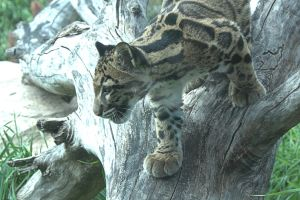 Clouded Leopards (2) by Razgar