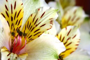 Tiger Lily by Amy-Lou-Photography