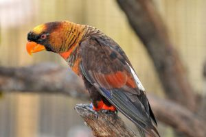 My name is dusky lory by NB-Photo