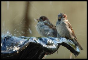 Sparrows at Fountain by Frittz