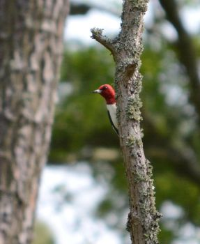 Peeping Red-Head by TimotheusP