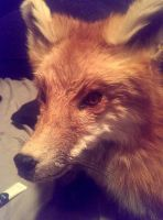 Red Fox WIP Lifesize by psychische