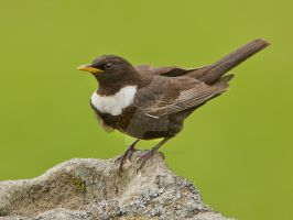 Freeze - Ring ouzel by Jamie-MacArthur