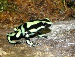 arrow poison frog 2 by Stratege