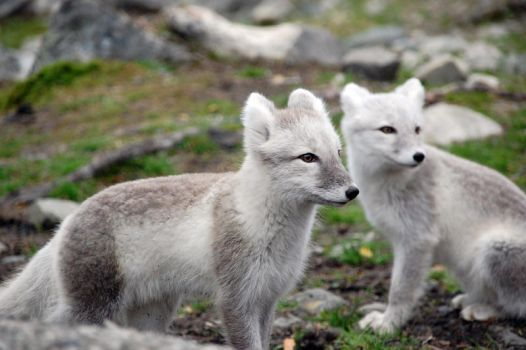 Arctic fox stock 9 by GrayeyesStock