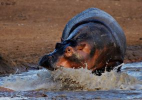 charging hippo by Yair-Leibovich