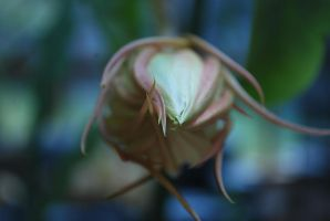 orchid cactus 1.7 - unopened bud by meihua-stock