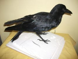 Crow taxidermy 1 by EternalEmporium