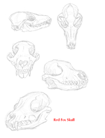Red Fox skull by VengefulSpirits