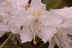 Rododendron by MochaCat