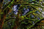 Hoh Rainforest by dsiegel