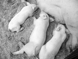 Such A Pig B_W by Lemon-oh