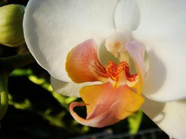 Orchid 2 by Ola810