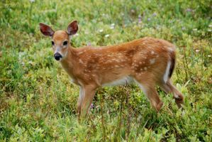 fawn by xspes