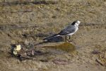 White Wagtail by kailor