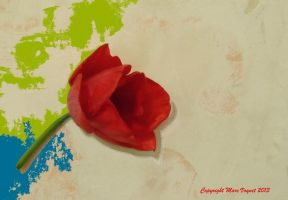 Red tulip by Vefday