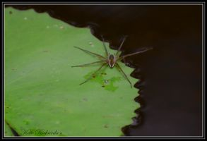 water spider by Purple-Dragonfly-Art