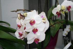 nice white orchids 2 by ingeline-art