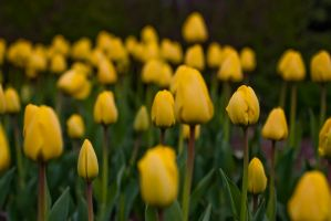 Tulips of 09 by lightzone