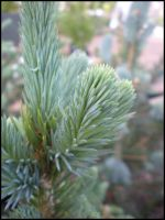 Conifer by CrusaderAlpha