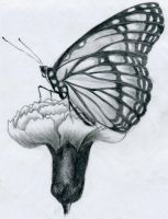 Butterfly Pencil Drawing by finnhuman97