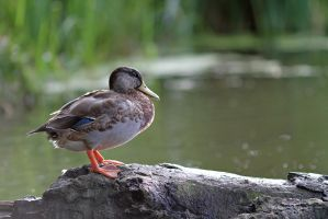 The Duck by LydiardWildlife