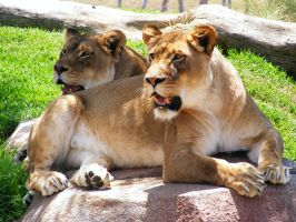 Lion stock 9 by Arghel