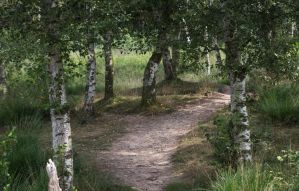 Birch Tree Path by Danimatie