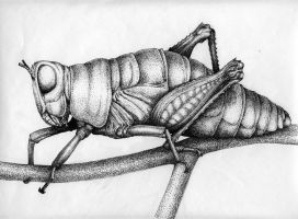Old Grasshopper by Rens-Ink